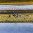 Group off Barnacle goose — Stock Photo #49773667