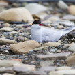 Arctic Tern standing near her nest protecting her egg from predators — Stock Photo #49773693