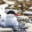 Arctic Tern standing near her nest protecting her egg from predators — Stock Photo #49773705