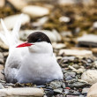 Arctic Tern standing near her nest protecting her egg from predators — Stock Photo #49773707