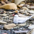 Arctic Tern standing near her nest protecting her egg from predators — Stock Photo #49773709