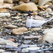 Arctic Tern standing near her nest protecting her egg from predators — Stock Photo #49773711