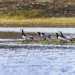 Group off Barnacle goose — Stock Photo #49773747