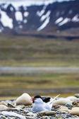Charrán ártico parado cerca de su nido protegiendo sus huevos de los depredadores — Foto de Stock
