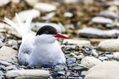 Arctic Tern standing near her nest protecting her egg from predators  — Stock Photo