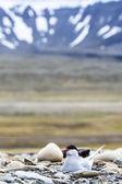 Arctic Tern standing near her nest protecting her egg from predators  — Stock Photo