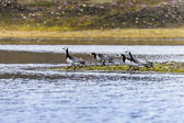 Group off Barnacle goose — Stock Photo