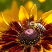 Close-up photo of a Western Honey Bee gathering nectar and spreading pollen on a young Autumn Sun Coneflower (Rudbeckia nitida).  — Stock Photo