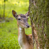 Close-up gamo na natureza selvagem — Fotografia Stock