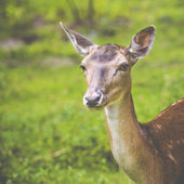Close-up fallow deer in wild nature  — Stock Photo