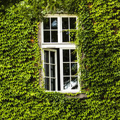 Window covered with green ivy — Stock Photo