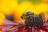 Close-up photo of a Western Honey Bee gathering nectar and spreading pollen. — Stock Photo