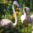 Pink flamingos against green background — Stock Photo #49883531