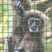 Gibbons is in the zoo — Stock Photo