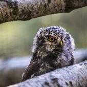 Barred Owl with head turned  — 图库照片
