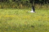Una cigüeña en vuelo en el parque del paisaje suwalki, polonia. — Foto de Stock