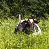 Cow on a pasture, on a green grass  — Stock Photo