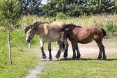 Horses in Suwalki Landscape Park, Poland. — Foto de Stock
