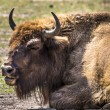 Bison - animals that live in nature reserves in Europe — Stock Photo #50490711