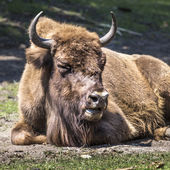 Bison - animals that live in nature reserves in Europe — Stock Photo