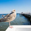 Close-up of a seagull in Sopot Pier, Gdansk with the baltic Sea in the background, Poland 2013. — Stock Photo #51251739