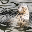 Harbour Seal (Phoca vitulina) pokes his head out of the water — Stock Photo #51251887