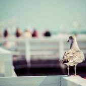 Close-up of a seagull in Sopot Pier, Gdansk with the baltic Sea in the background, Poland 2013. — Stock Photo