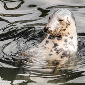 Harbour Seal (Phoca vitulina) pokes his head out of the water — Zdjęcie stockowe