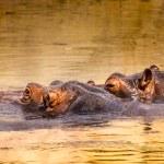 African hippo in their natural habitat. Kenya. Africa. — Stock Photo #51673125