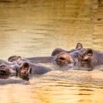 African hippo in their natural habitat. Kenya. Africa. — Stock Photo #51673149