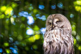 The Great Grey Owl or Lapland Owl, Strix nebulosa — Stock Photo