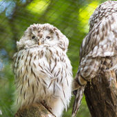 The Great Grey Owl or Lapland Owl, Strix nebulosa  — Photo