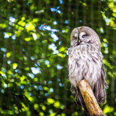 The Great Grey Owl or Lapland Owl, Strix nebulosa — Stock Photo