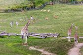 Jirafas en el zoológico safari park — Foto de Stock