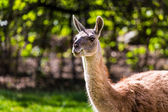 Llama portrait on green natural outdoor background — Stock Photo