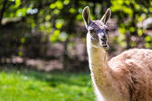 Llama portrait on green natural outdoor background — Foto de Stock