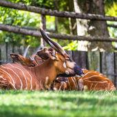 Bongo Taurotragus euryceros isaaci Antilope  — Stock Photo