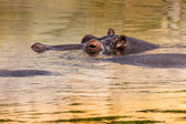 African hippo in their natural habitat. Kenya. Africa. — Stock Photo