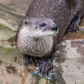 European Otter in nature. — Stock Photo