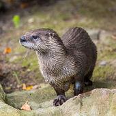Lontra europeia na natureza. — Fotografia Stock