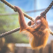 Stare of an orangutan baby, hanging on thick rope. A little great ape is going to be an alpha male. Human like monkey cub in shaggy red fur.  — Foto de Stock