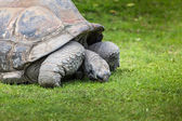 A giant Galapagos turtle, Galapagos islands, Ecuador, South America  — Stock Photo