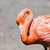 The pink Caribbean flamingo ( Phoenicopterus ruber ruber ) goes on water. Pink flamingo goes on a swamp.  — Stock Photo