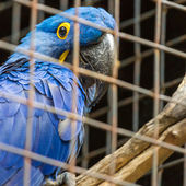 Blue Hyacinth macaw parrot in zoo.  — Stock Photo