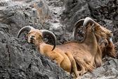 West caucasian tur goat in nature. — Stock Photo