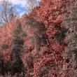 Abstract beautiful colorful pink forest trees under blue sky sce — Stock Photo