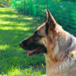 Stock Photo: Calm Shepard dog lying on grass outdoors summer background