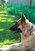 Calm Shepard dog lying on grass outdoors summer background — Stock Photo