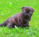 Cute grey kitten walking on grass outdoor summer background — Stock Photo