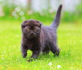 Schöne schottische shocolate kätzchen suchen auf grünen sommer gras — Stockfoto